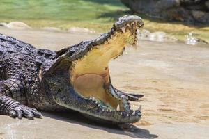 spettacolo di coccodrilli foto