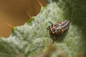larva di coccinella foto