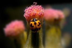 coccinella che tiene sul fiore con la fine sulla vista dettagliata.