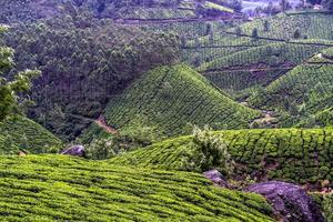 piantagione di tè munnar foto