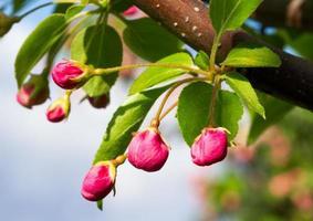 fiori di mela granchio rosa