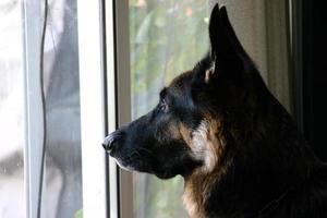 profilo di pastore tedesco foto