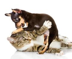 gatto combatte con un cane foto