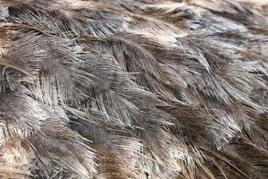 piuma di uccello struzzo marrone texture di sfondo foto