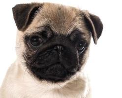 Ritratto di cucciolo di Carlino