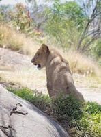 cucciolo di leone