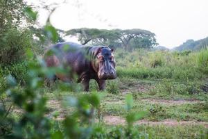ippopotamo guardandosi intorno