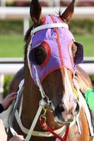 testa di cavallo con paraocchi foto