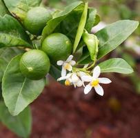 albero di limone foto