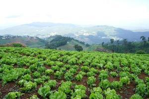lattuga verde fresca sul terreno della fattoria foto
