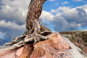 albero che cresce sulla roccia foto