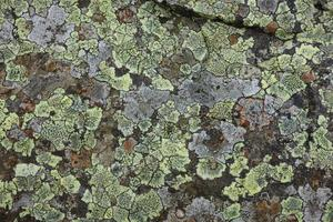 lichene su roccia foto