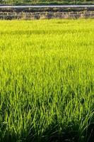 albero di riso foto