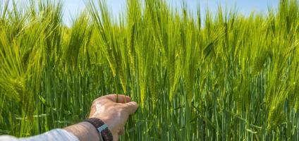 grano che cresce su un campo soleggiato in primavera foto
