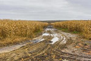 paesaggio con campo di mais e strada di campagna