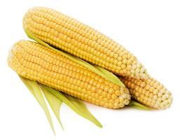 una spiga di grano isolato su sfondo bianco foto