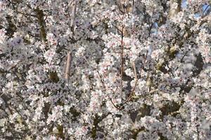 fioritura delle mandorle foto