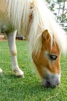il cavallo mangia