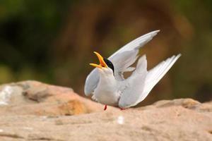 Sterna di fiume danza degli uccelli foto