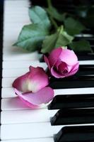 rosa Rosa foto