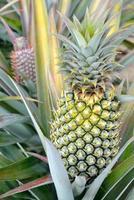 fattoria di ananas foto