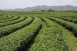 paesaggio della piantagione di tè foto