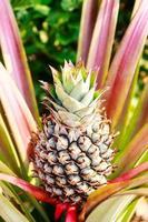 ananas tropicale fresco che pianta nella fattoria foto