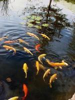 pesce rosso nello stagno @ sedgwick county zoo foto
