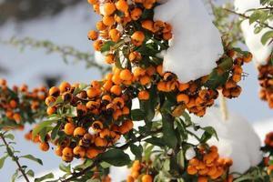 bacche invernali arancioni foto