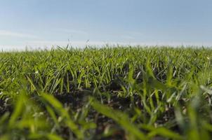 campo di germogli di grano invernale