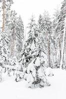 foresta russa di inverno nella neve