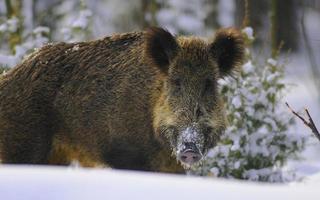 cinghiale nella foresta invernale foto