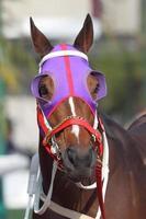 testa di cavallo con paraocchi viola foto
