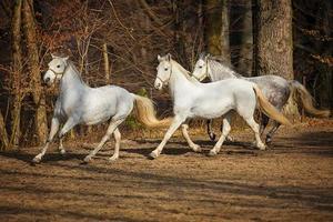 cavalli lipizzani in esecuzione foto