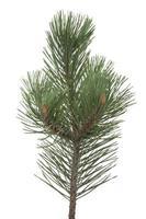 primo piano del ramo di pino su fondo bianco