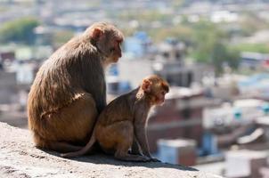 macaco di rhesus foto