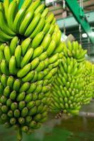 banana canaria platano a la palma foto