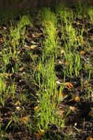 erba della terra