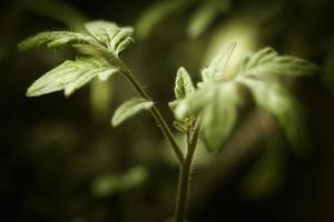 macro piantine di pomodoro foto