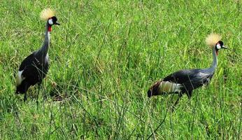 gru coronata dell'Africa orientale foto