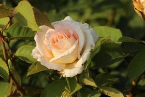 rosa 'henri salvador' - rosa foto