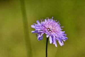 fiori di montagna foto