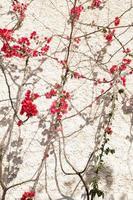 fiore di bogumilia