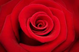 rosa rossa su sfondo rosso foto