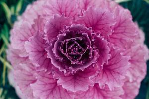 fiore di cavolo foto