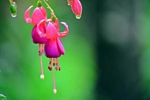fiore di fuchia foto