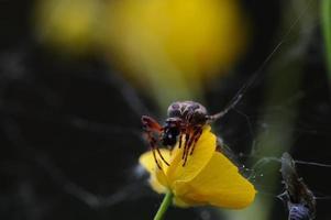 ragno da vicino. foto