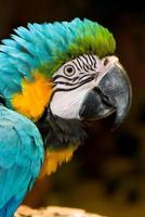 macaw da vicino foto