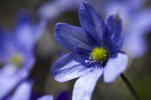hepatica da vicino