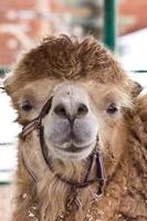 cammello da vicino foto